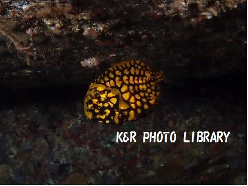 マツカサウオの幼魚