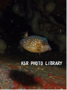 ハコフグの幼魚