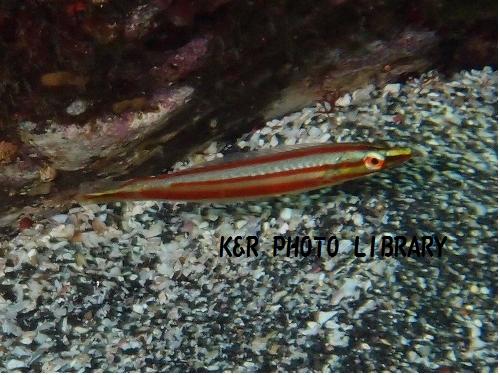 シロタスキベラ(幼魚)