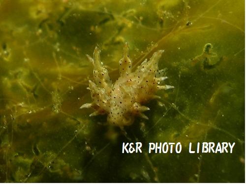 ホシアカリミノウミウシ