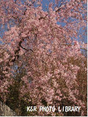 王禅寺の桜1