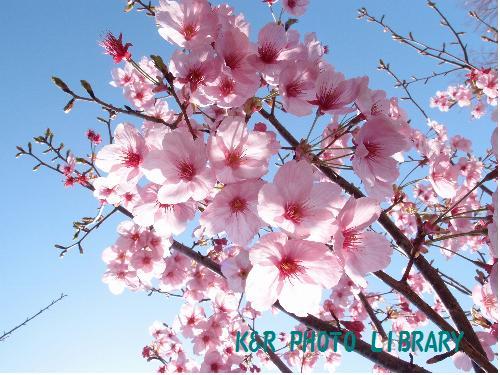 王禅寺の桜2