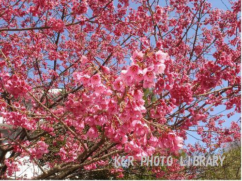 王禅寺の桜3