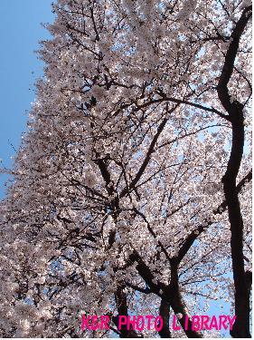 鷺沼の桜1