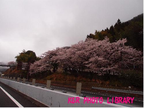 中央道の桜