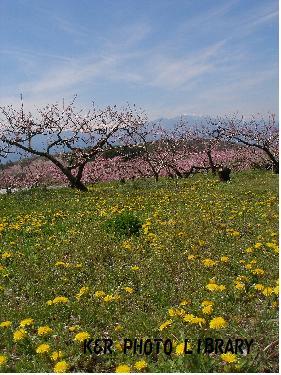 タンポポと桃の花