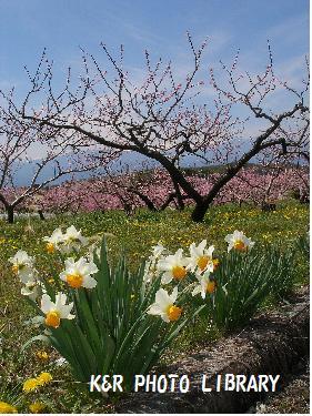 水仙と桃の花