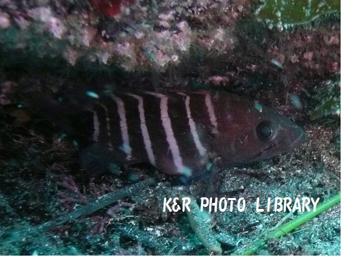 マハタの幼魚