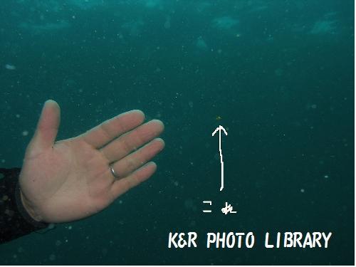 ツマグロハタンポの幼魚1