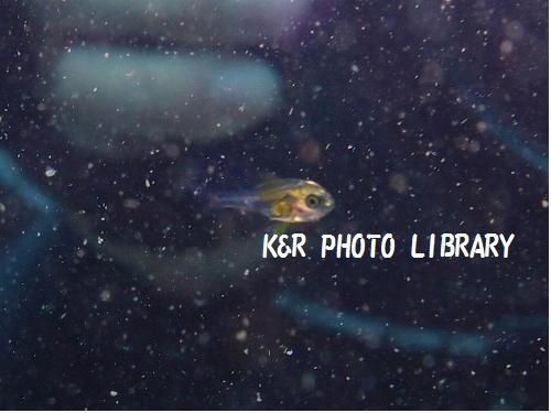 ツマグロハタンポの幼魚2