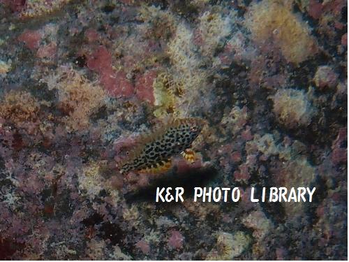 ノドグロベラ(幼魚)
