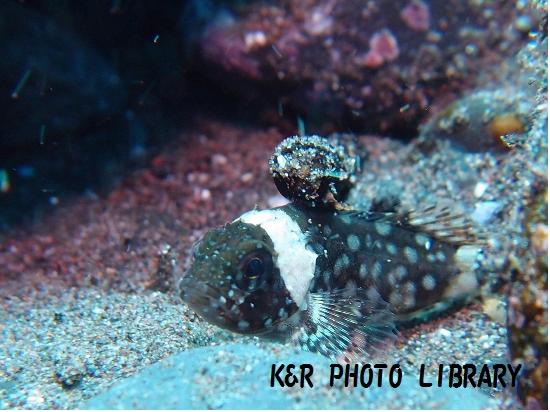 カサゴの幼魚