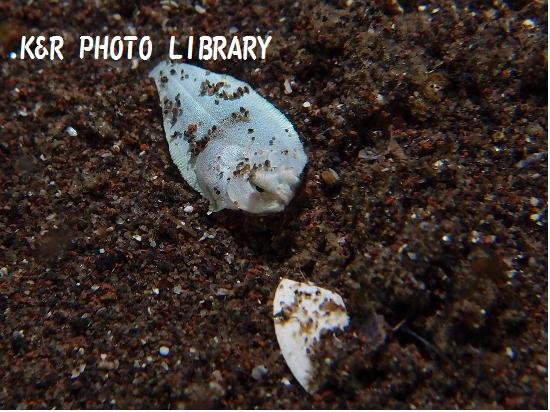 メイタガレイ(幼魚)