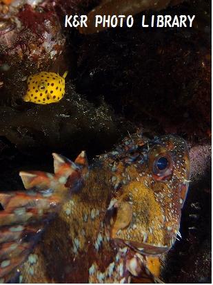 ミナミハコフグ(幼魚)&カサゴ