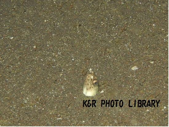 7月20日大瀬崎ナイトホタテウミヘビ(幼魚)