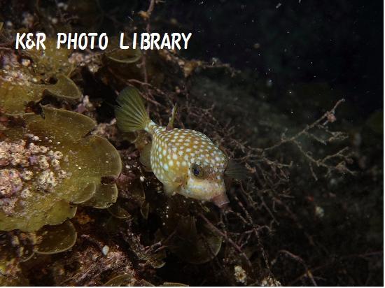 7月20日大瀬崎ナイトハコフグの幼魚