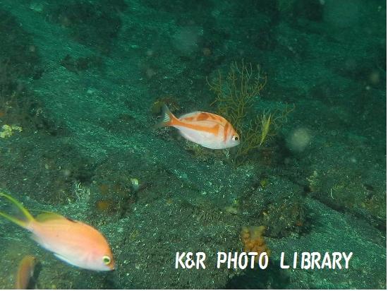 7月21日大瀬崎アカイサキの幼魚