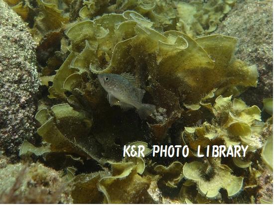 7月21日大瀬崎メバルの幼魚