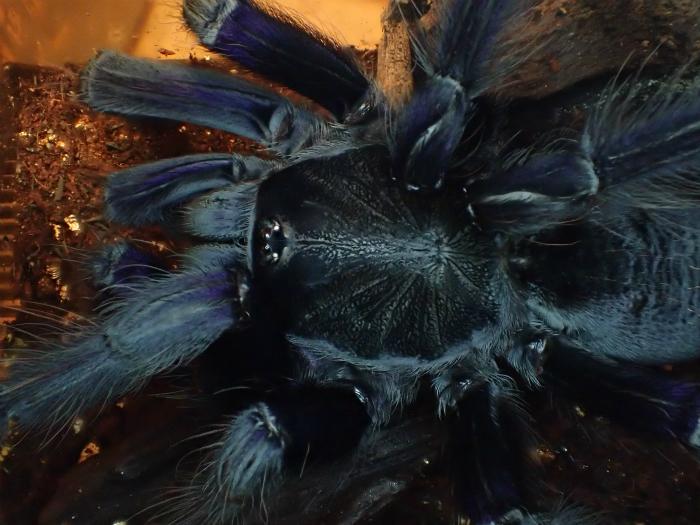 Lampropelma sp Borneo Blackボルネオブラックアースタイガー s700PA150126