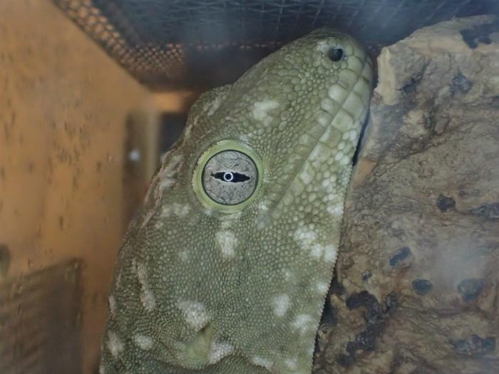 Rhacodactylus leachianus henkeli  s700PA120094