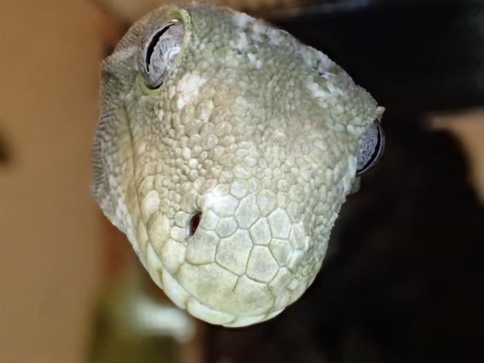 Rhacodactylus leachianus henkeli  s700PA120112