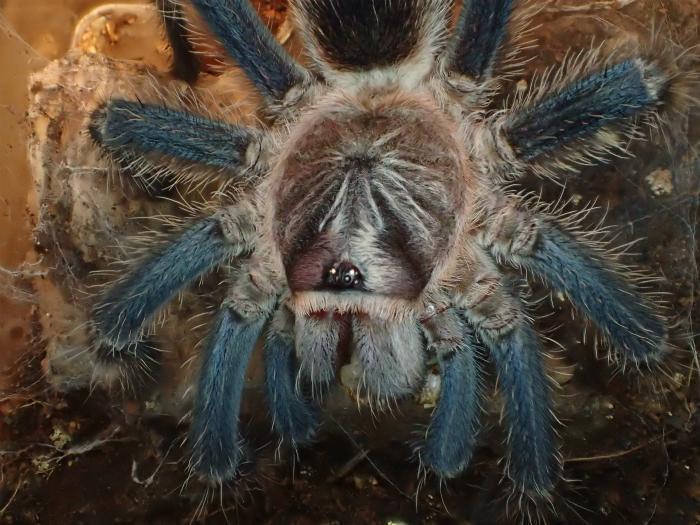 Phormictopus sp BLUE フォルミクトプス spブルーs700PA150131