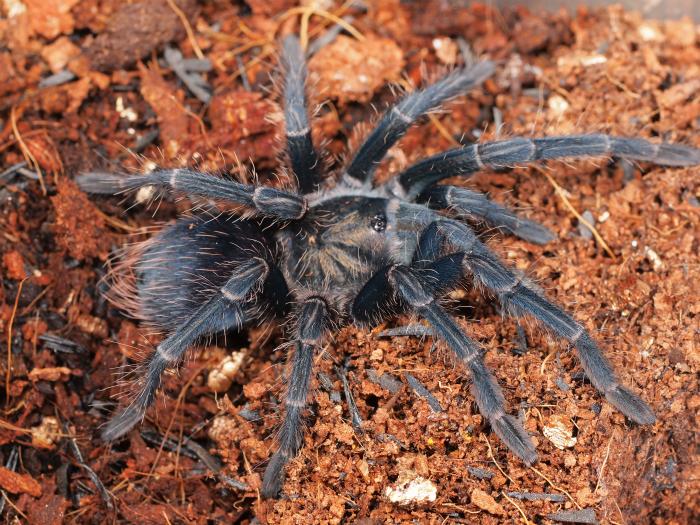s700PB300024 Phormictopus cautus  real purple  フォルミクトプス sp リアルパープル
