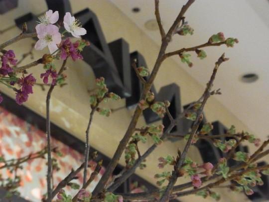 大丸 桜01