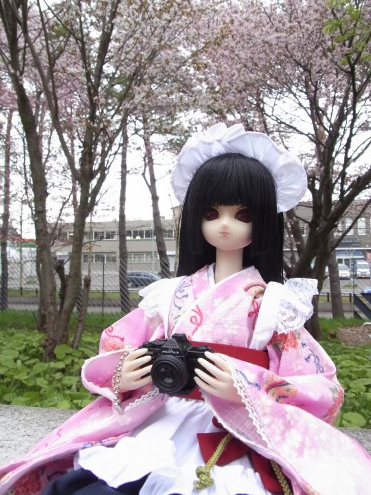 札幌ドーム 桜08