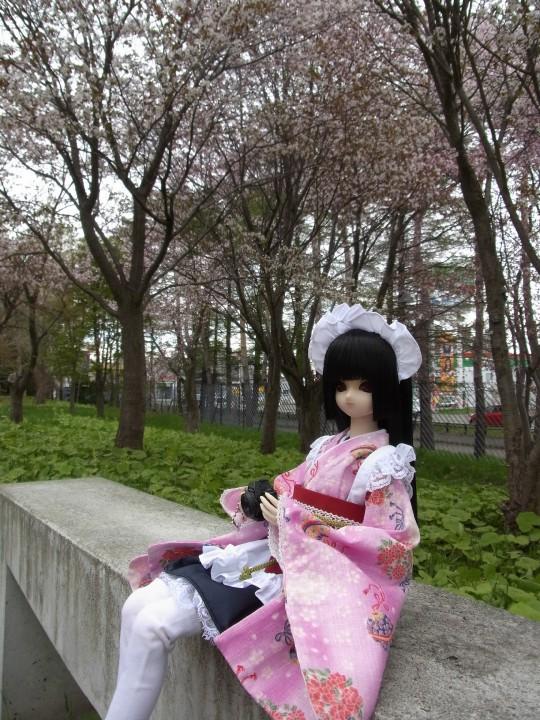 札幌ドーム 桜09