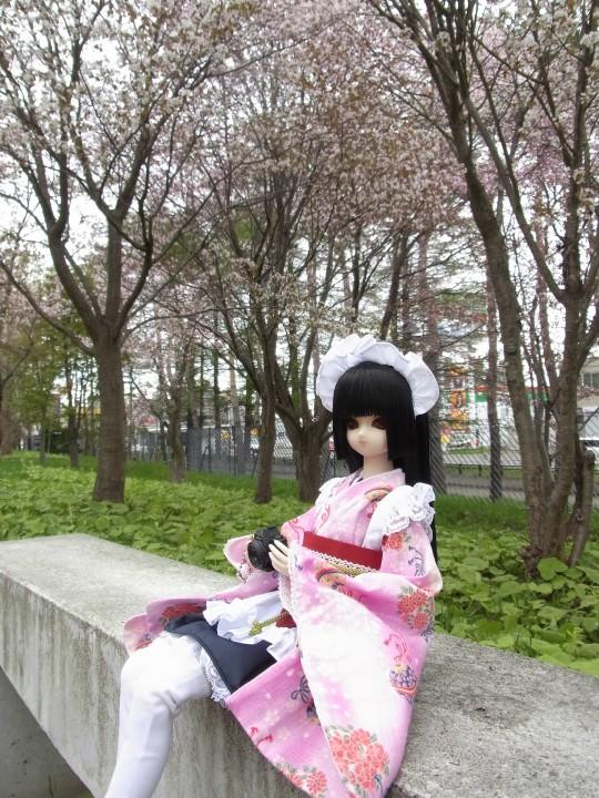 札幌ドーム 桜10