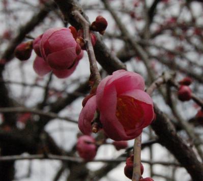 津山市神代梅の里公園梅開花状況(平成25年3月14日現在)