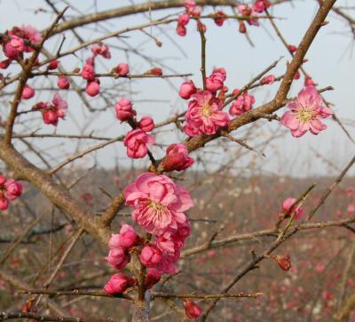 津山市神代梅の里公園梅開花状況(平成25年3月19日現在)