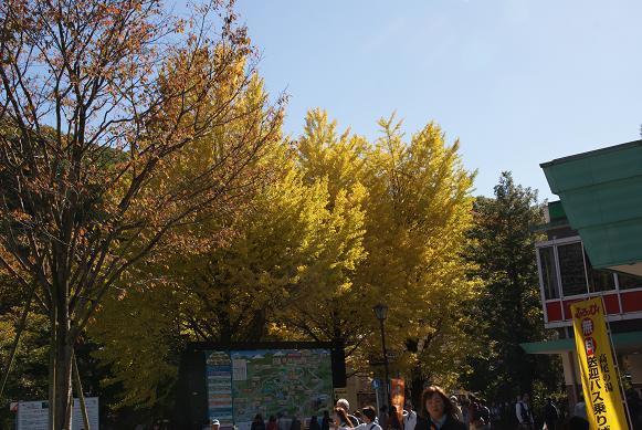 高尾山口駅前のイチョウの木
