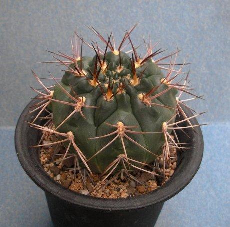 071014-Sany0060-rhodantherum-Piltz-seed-3552.jpg