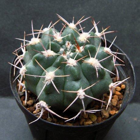Sany0063--varnicekianum v bicolor--Tom 244-1--Cruz del Eje 497m Cordoba--ex Eden 22728