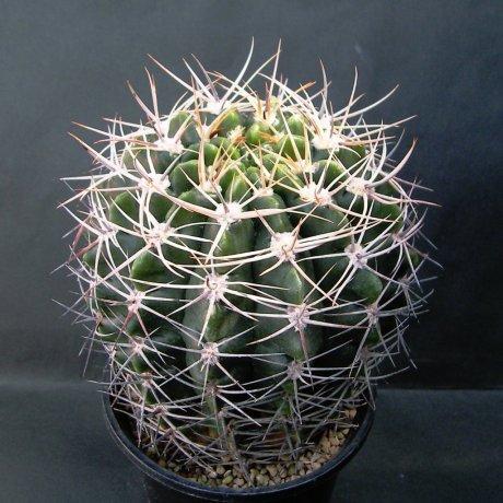 Sany0189--bicolor--Piltz seed 3025