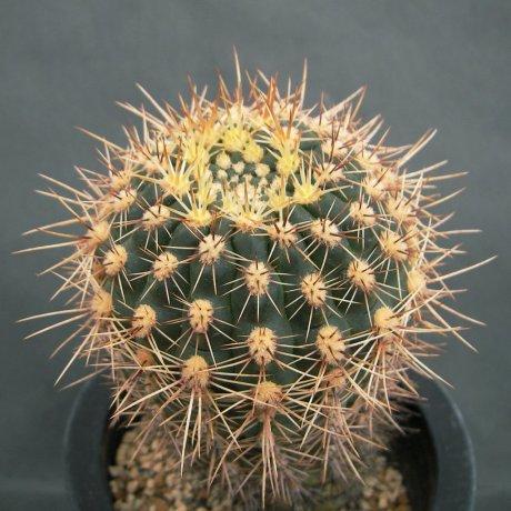 Sany0024--schatzlianum--R 541--Koehres seed