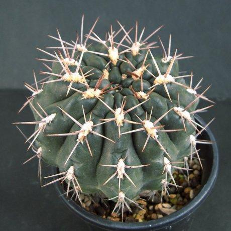 Sany0230--gibbosum v rostratum--ex Eden 15674