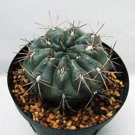 Sany0199--gibbosum v rostratum--Mesa seed 468.1