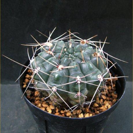 Sany0061--gibbosum v rostratum---Jecminek seed 0-2608