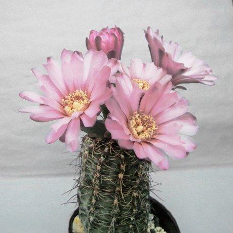Sany0070--erinaceum v paucisquamosum--P 400--Cordoba Ongamira 1000 m--Piltz seed