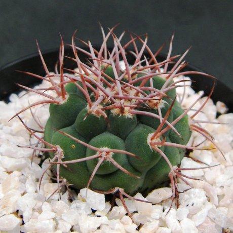 Sany0071--castellanosii v rigidum--VS 826--Chila LR--Piltz seed 7052