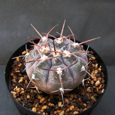 Sany0041--glauum --VS 48--San Blas LR 1050m--Mesa seed 468.34