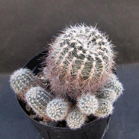 Sany0089--bruchii v niveum--OF 25-80--Piltz seed 1808