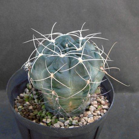 Sany0092--andreae v longispinum--Piltz seed 5458 --