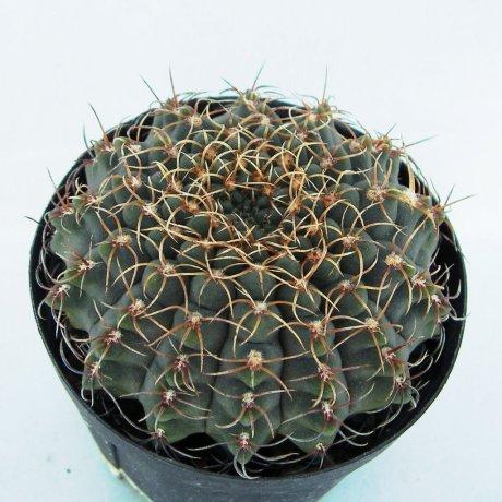 Sany0166--quehlianum v flavispinum--P 180--Piltz seed 4284