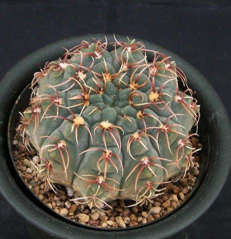Sany0202-quehlianum v flavispinum-P180-Piltz.seed