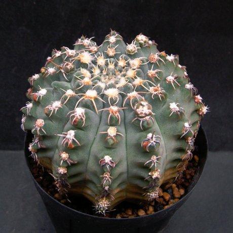 Sany0172--quehlianum v flavispinum--Koehres seed 626