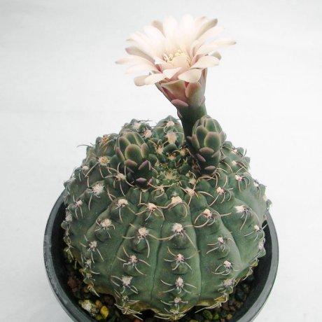 Sany0010--quehlianum v flavispinum--GN 91-324-1100--Piltz seed 2992